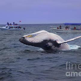 Al Bourassa - Humpback Whale Breaching Near Puerto Lopez - Ecuador VI