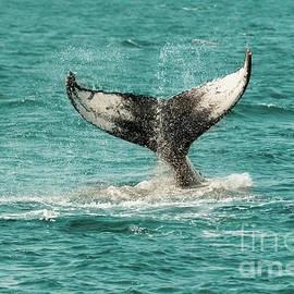 Kathy Franklin - Humpback Whale