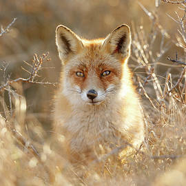 Hungry Eyes - Red Fox in the Bushes - Roeselien Raimond