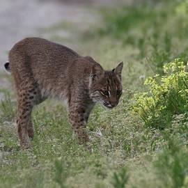Lawrence Rowe - Hunting Bobcat