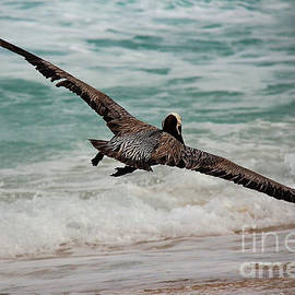 Vickie Emms - Hunting Brown Pelican