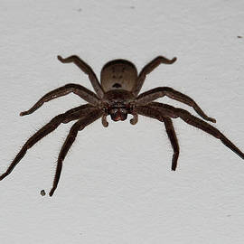 Miroslava Jurcik - Huntsman Spider