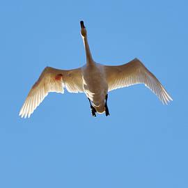 Jouko Lehto - Hurt. Whooper Swan