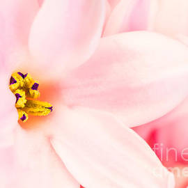 Gregory DUBUS - Hyacinth pink flower macro