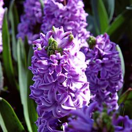 Lali Kacharava - Hyacinths