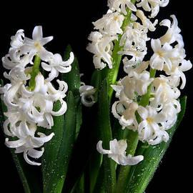 Tracy  Hall - Hyacinths