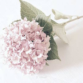 Jeannie Rhode Photography - Hydrangea in Soft Pink