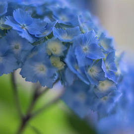 Hydrangeas Blues Glow - Mike Reid