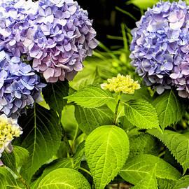 Geraldine Scull   - Hydrangeas bush