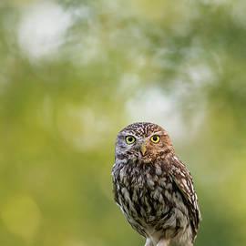 Roeselien Raimond - I C U - Little owl watching the photographer