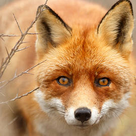 Roeselien Raimond - I See You - Red Fox Spotting Me