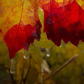 Jean Noren - Icy Grape Leaves