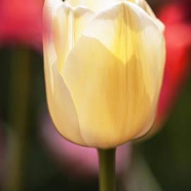 Vishwanath Bhat - Illuminated White Tulip