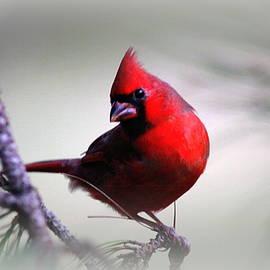 Travis Truelove - IMG_0256-003 - Northern Cardinal