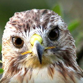 Travis Truelove - IMG_1519 - Red-tailed Hawk