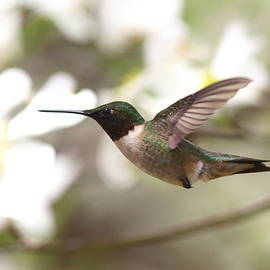 IMG_1603-001 - Ruby-throated Hummingbird