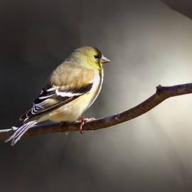 Travis Truelove - IMG_2782-001 - American Goldfinch