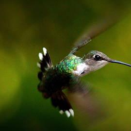 Travis Truelove - IMG_7164 - Ruby-throated Hummingbird