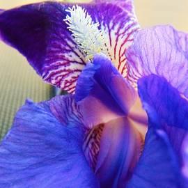 Honey Behrens - Immaculate Iris
