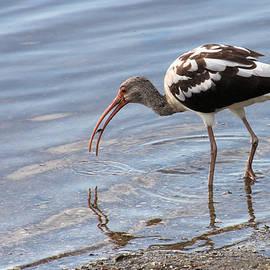 Rosalie Scanlon - Immature Ibis with a Catch