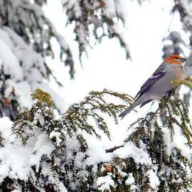 Jaunine Ammerman - Immature Male Pine Grosbeak
