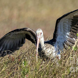 Bill And Deb Hayes - Immature White Ibis Searching
