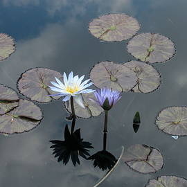 Craig Wilder - Water Lilies In a Japanese Garden