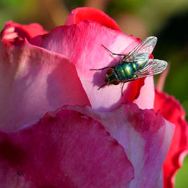 Michele  Avanti - In the Sun - Fly on Rose