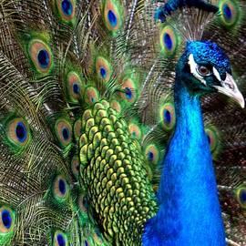 Lilliana Mendez - Indian Peacock II