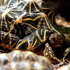 Miroslava Jurcik - Indian Star Tortoise