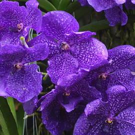 Rumyana Whitcher - Indigo Orchid Flower
