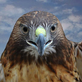 Sandi OReilly - Inflight Frontal Red Tailed Hawk
