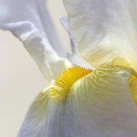 Phyllis Denton - Inner Glow Lavender Iris