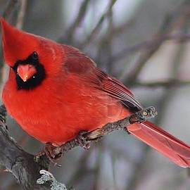Bruce Bley - Inquisitive Cardinal
