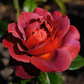Helene Fallstrom - Intense rose of love