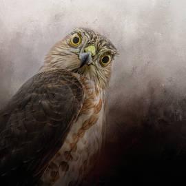Jai Johnson - Intent Sharp Shinned Hawk Art