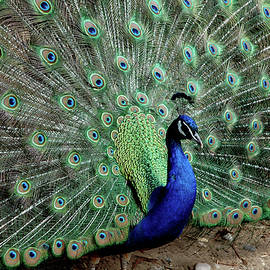 LeeAnn McLaneGoetz McLaneGoetzStudioLLCcom - Iridescent blue-green Peacock