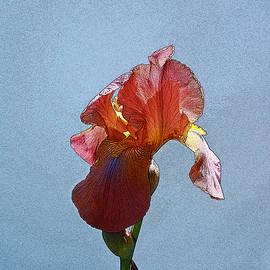 Allen Beatty - Iris 37