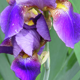 Brooks Garten Hauschild - Iris Blossoms and Greenery