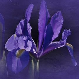 Richard Cummings - Iris Blue 2016