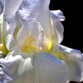 Deb Halloran - Iris Delicacy