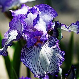 Debbie Oppermann - Iris Dressed For Royalty