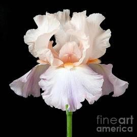 Danny Smythe - Iris Flower