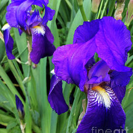 Jasna Dragun - Iris Germanica
