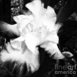 Jane Gatward - Iris In White