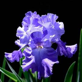 Terri Waselchuk - Iris Princess