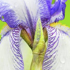 Regina Geoghan - Iris-Theodolinda Flower and Bud