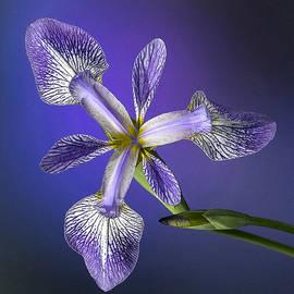 Denise Saldana - Iris Wide Open