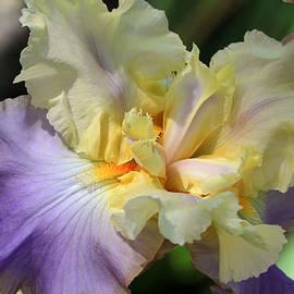 Donna Kennedy - Irresistible Iris