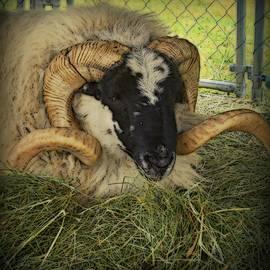 Kathy Barney - Isle of Skye Big Horn Sheep